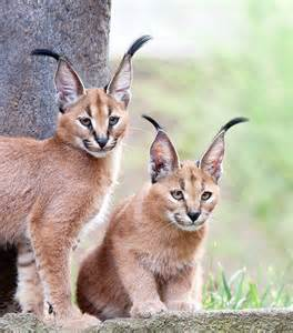 caracal cats caracal kittens flickr photo
