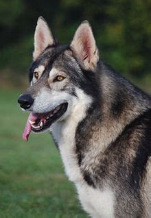 northern inuit dog wikipedia