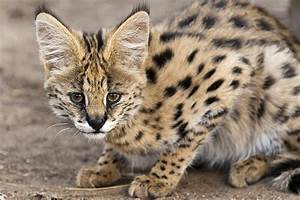 Guide to Serval Cats as Pets