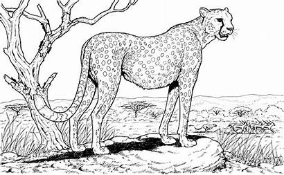 Cheetah Coloring Pages Animals Wildlife