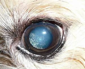 Patologie visive nei cani anziani – Parte 1 | Cani senza vista