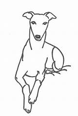 Whippet Coloring Pages Thewhippet sketch template