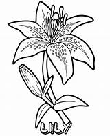 Coloring Lily Flowers Pages Flower Sheets Sheet Topcoloringpages sketch template