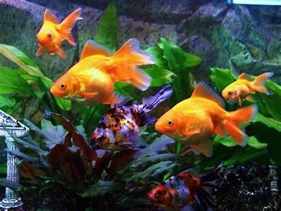 Fish Goldfish Aquarium Gold Wallpapers Moving Animated