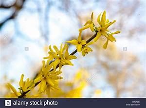 Busch Mit Gelben Blüten : fr hling strauch mit gelben bl ten forsythien bl hen an sehr sonnigen tag stockfoto bild ~ Frokenaadalensverden.com Haus und Dekorationen