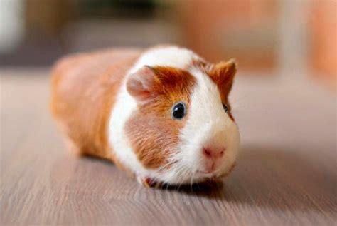 guinea pig names cute guinea pig names for girl pairs images