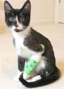 cat broken leg cat broken leg cast 400x551 towcester veterinary centre