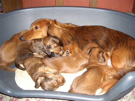 File Ee  Dachshund Puppies Ee   Jpg Wikimedia Commons