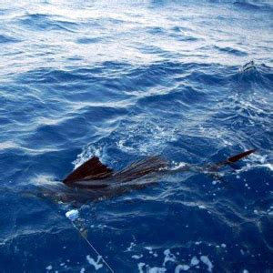 Fishing Boat Charters West Palm Beach by Sailfishing Boat Charters Madson Fishing Charters West