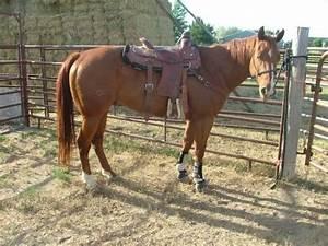 Gorgeous Sorrel Quarter Horse Gelding *Price reduced ...