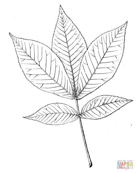 Kleurplaat Nooyer shagbark hickory leaf coloring page free printable