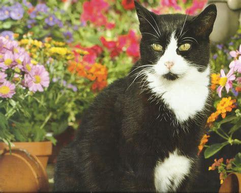 hd tuxedo cat wallpaper