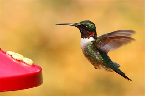 how do i attract hummingbirds how to tame hummingbirds