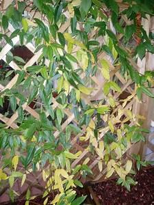Oleander Braune Blätter : krankheiten gelbe bltter kranke krankheiten gelbe bltter ~ Lizthompson.info Haus und Dekorationen