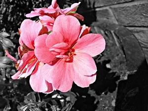 Black White And Pink Backgrounds 13 Background Wallpaper ...