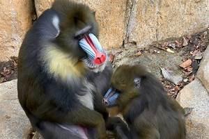 Image Gallery mandrill behavior