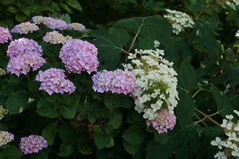 pruning summer flowering shrubs  fashioned hydrangeas