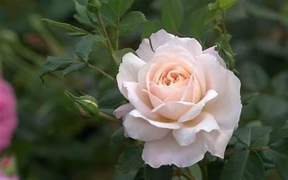 Rose Rosen Wallpapers Heavenly Roses Merci Amour