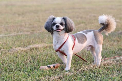 dogs that shed the most most popular hypoallergenic non shedding breeds