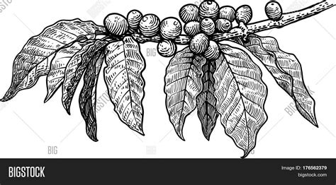 Download coffee seed images and photos. Coffee Plant Vector & Photo (Free Trial) | Bigstock