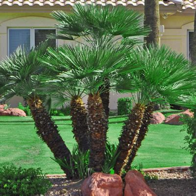european mediterranean fan palm scaping 39 s arizona backyard landscaping pictures miami heat