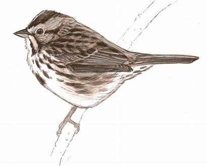 Birds Drawing Feather Draw Laws Bird Drawings