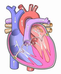File Diagram Of The Human Heart  No Text  Svg