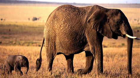 Download Animals Elephants Wallpaper 1920x1080 Wallpoper