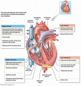 The 25  Best Coronary Circulation Ideas On Pinterest