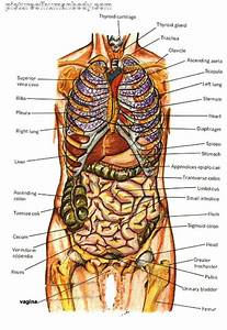 Grasshopper Internal Anatomy Diagram