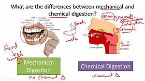 Chemical Digestion And Absorption Of Carbohydrates