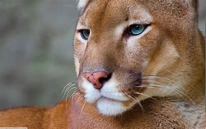 Animal Pumas Puma Animals Background Desktop Wallpapers