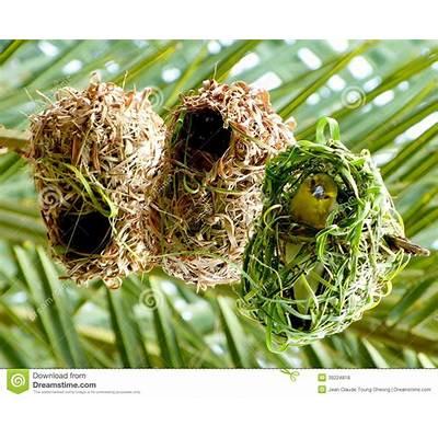 African Weaver Bird In Its Nest. Stock Photo - Image: 39224818