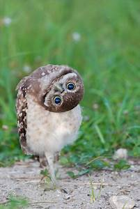 The Burrowing Owl – The Smallest Species of Owl   The Ark ...