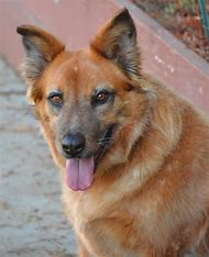German Shepherd Dog Blue Heeler Mix