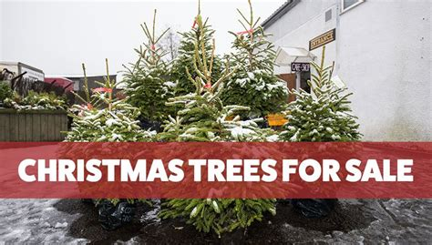 perth christmas trees for sale from giraffe trading
