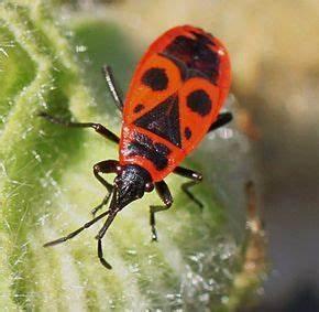Insecte Qui Mange Le Bois : gendarme insecte wikip dia ~ Farleysfitness.com Idées de Décoration