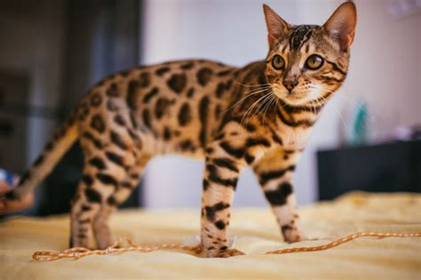 home interior tiger picture bengal cat stands on yellow bed photo free