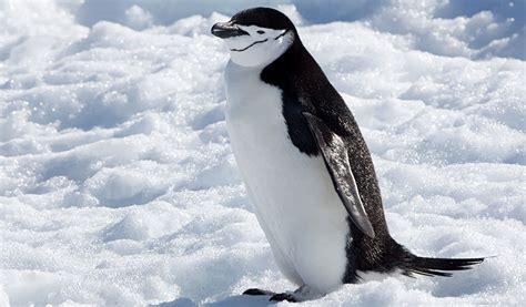 chinstrap penguin facts diet habitat information
