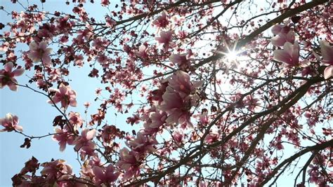 ornamental magnolia tree beautiful ornamental pink tulip magnolia tree stock footage video 3767630 shutterstock