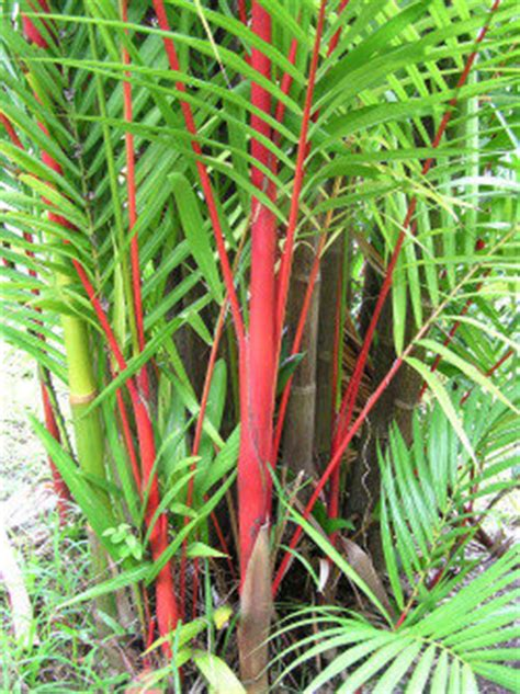 Colorful Palms- Not all Palms are Simple Green - Dave's Garden