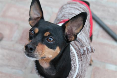 chase min pin mix m a i n medical animals in need