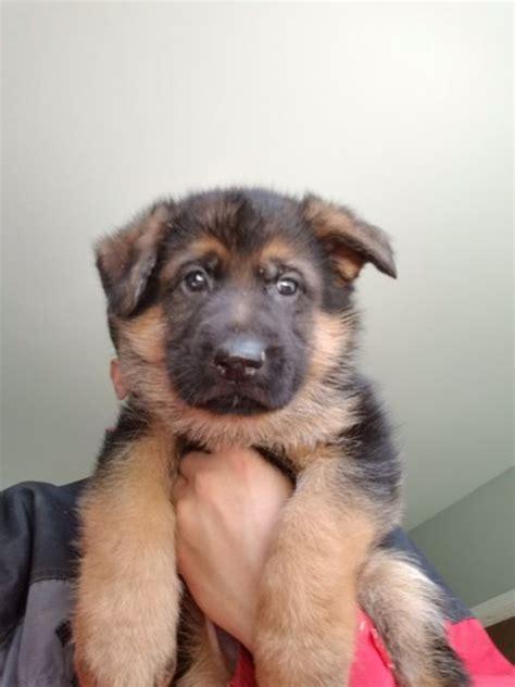 german shepherd dog puppy  sale  auburn wa adn