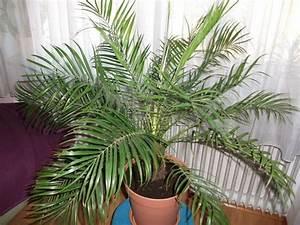 Palmen Für Draußen : phoenix roebelenii hebt sich aus dem topf umtopfen ~ Michelbontemps.com Haus und Dekorationen