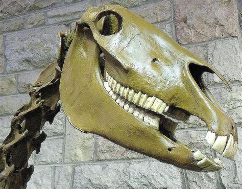 horse teeth skull prehistoric animal flat fossil lesson long facts molars horses profiles wikimedia commons
