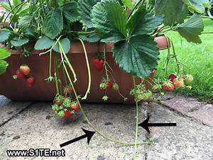 Saving Strawberry Plants from Strawberry Runners / How to ...