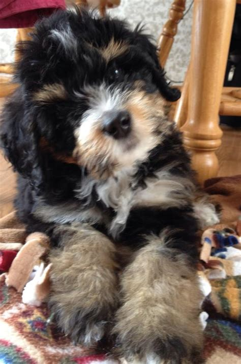Bernedoodle Bernese Mountain Dog And Poodle Mix
