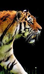 5k Tiger Predator, HD Animals, 4k Wallpapers, Images ...