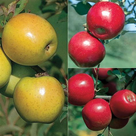 Disease-Resistant Apple Tree Collection - Apple Trees ...