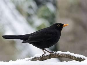 Kleine Vögel Im Garten : 26 besten amseln bilder auf pinterest garten ~ Lizthompson.info Haus und Dekorationen